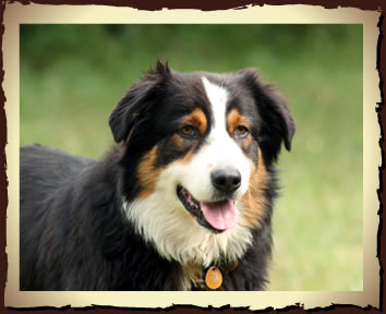Farm Collie
